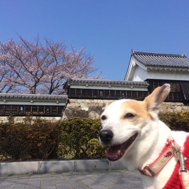 月曜日の桜