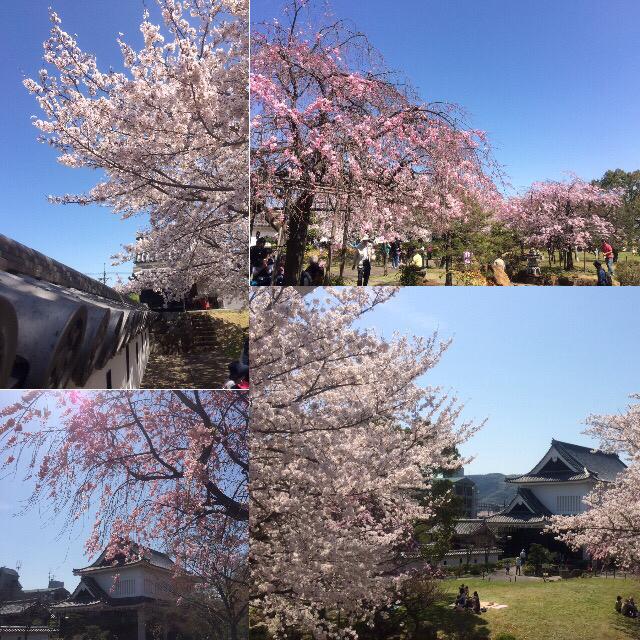 桜、見ごろです