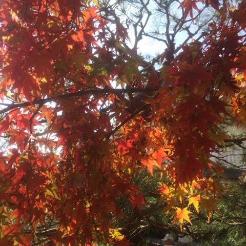 勝竜寺城公園の紅葉