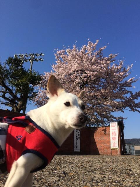 2017 桜 その2