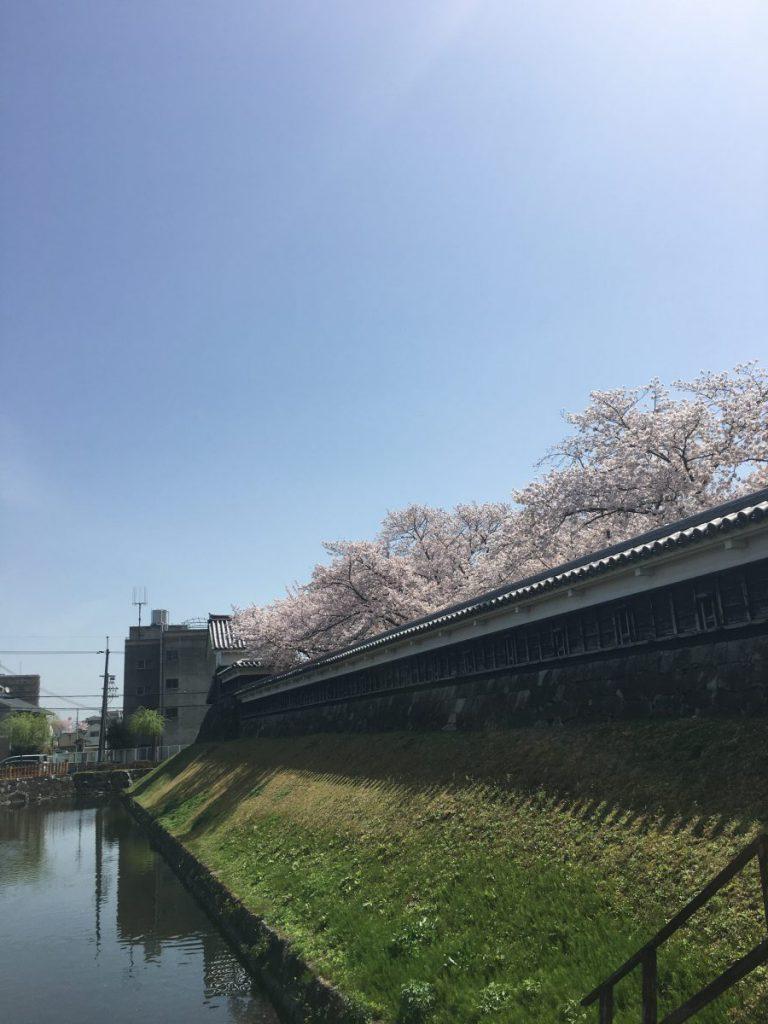 2021 長岡京市 勝竜寺城公園 桜